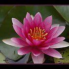 Pink Water Lilly  (alterNATpics) by alternatpics