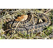 baskin adder Photographic Print