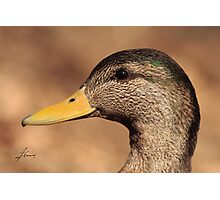 The Profile of a Hybrid ABD - American Black Duck Photographic Print