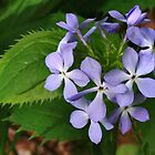Woodland Phlox by Nadya Johnson