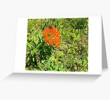 Butterfly Weed; Pleurisy-Root Greeting Card