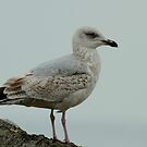 Third Year Herring Gull by Robert Abraham