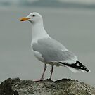 Adult Herring Gull by Robert Abraham
