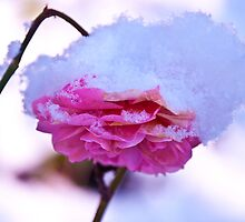 Rose in Snow by Justine Harrison Wood