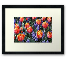 Princess Irene Tulips ~ Skagit Valley Framed Print