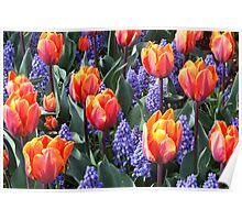 Princess Irene Tulips ~ Skagit Valley Poster