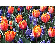 Princess Irene Tulips ~ Skagit Valley Photographic Print