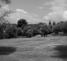 Old olive trees by wildone