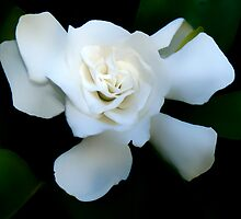 Gardenia White by OPSTER