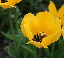Yellow Tulips by kkphoto1