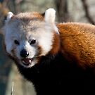 Red panda by Michael Hadfield