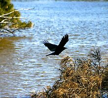 Crow Flying Over Lake by eidann