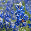Bluebonnet Heaven~ by Amie Bleu Photography