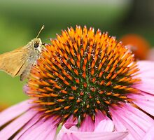 Purple Coneflower and Butterfly by Gilda Axelrod