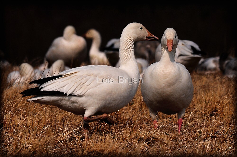 Gossiping Geese by Lois  Bryan