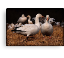 Gossiping Geese Canvas Print