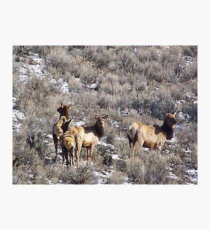 Elk in Sagebrush Photographic Print