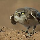 Burrowing Owl Cuties by Sue  Cullumber