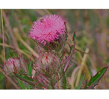 Horrible Thistle Photographic Print