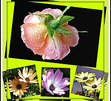 Sunshine and Rain - Rose and Cape Daisies Collage  by BlueMoonRose