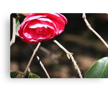 Striking Camelia Canvas Print