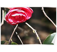 Striking Camelia Poster