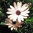 Joyful - Peach Coloured Cape Daisies by BlueMoonRose