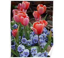 Tulips and Pansies Poster