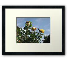 Yellow Roses and Blue Sky Framed Print
