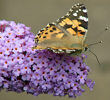 Butterfly on Buddleia by BlueMoonRose