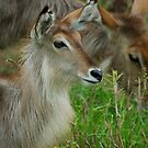 UP CLOSE - THE WATERBUCK - Kobus ellipsiprymnus by Magriet Meintjes
