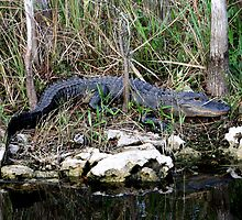 Just Chillen in the Glades by Bonnie Robert