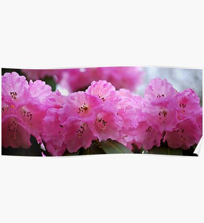 Pink Parade of Rhododendrons... Poster