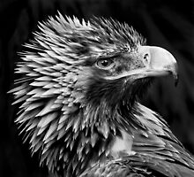 Wedge-Tailed Eagle (Aquila Audax) by Paul  Johnson