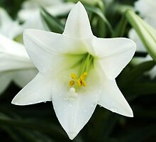 Easter Lilly by Kathleen Struckle