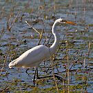 White Egret by flyfish70
