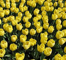 Blossoms of Gold - Yellow Tulips - Keukenhof Gardens by BlueMoonRose