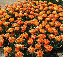 Orange Beauties - Keukenhof Tulips by BlueMoonRose