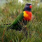 Rainbow Lorikeet  by Neil Swenser