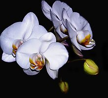 White Orchids by mark4321