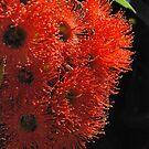 Aussie Orange : Eucalyptus Blossoms.  by Lozzar Flowers & Art