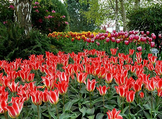 Tulips in the Park by Marjorie Wallace
