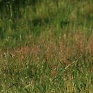 annual Low Head rabbit race day Tasmania,panorama by dmaxwell