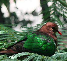 Emerald Dove by Coloursofnature