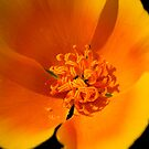California Poppy by Michael  Moss
