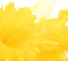 Daffies by Andy  Hall