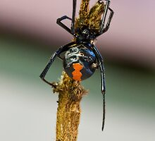 Red Back Spider by Stephen Quennell