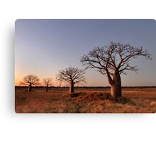 Boabs in the Kimberley Canvas Print