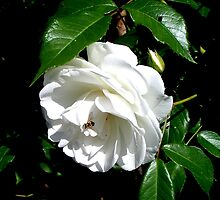 The timeless beauty of a white rose by patjila