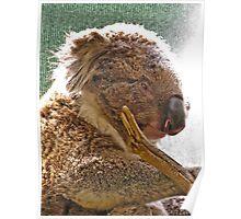 Koalas Shower Poster